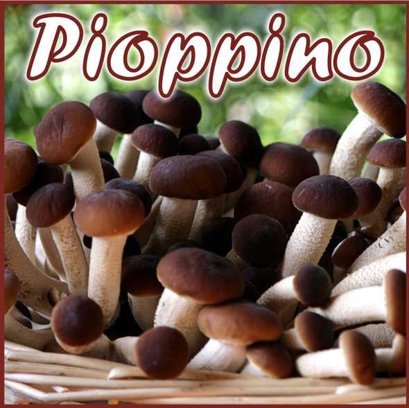 Kit per produzione in casa di funghi Pioppini