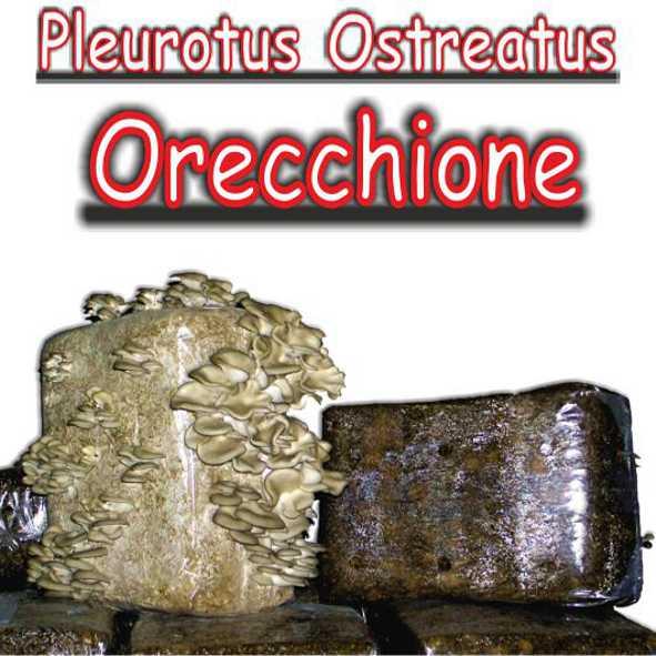 Balletta di paglia inoculata con micelio di fungo Pleurotus Ostreatus (Orecchione)