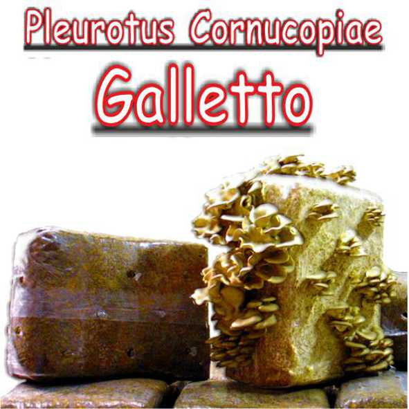 Balletta di paglia inoculata con micelio di fungo Pleurotus Cornucopia (Galletto)